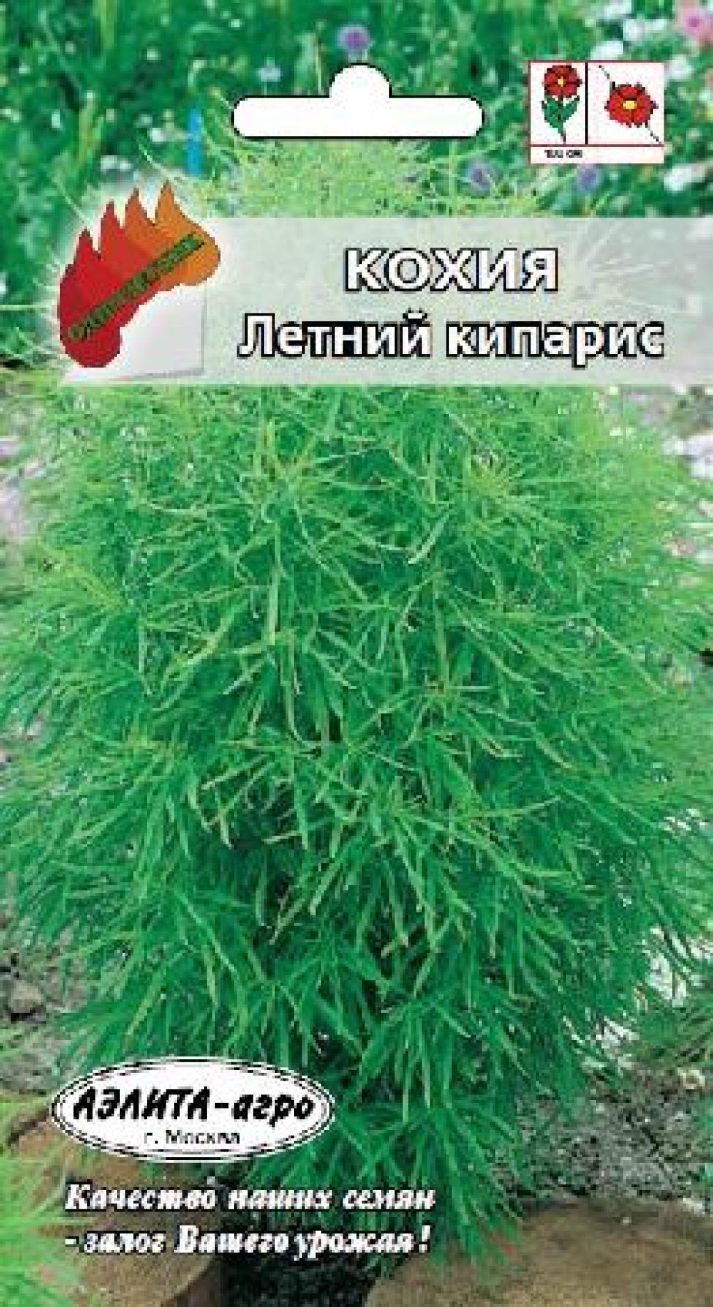 Кохия летний кипарис выращивание из семян 82